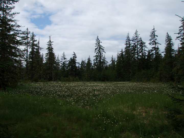 A forest meadow covered with short grass with white tips surrounded by trees.